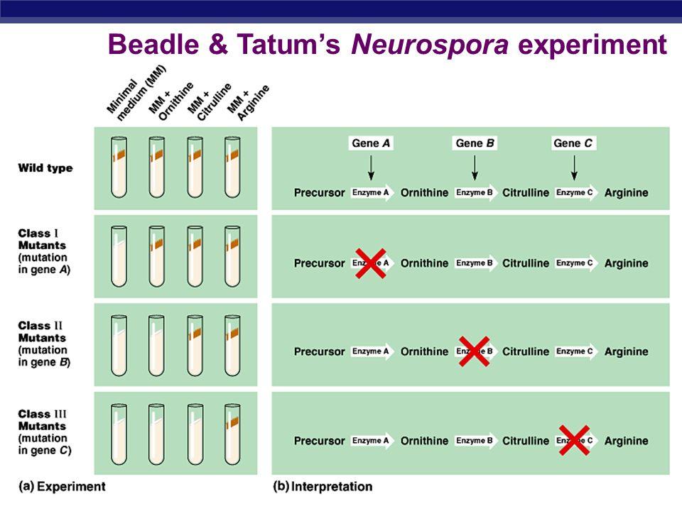 Beadle & Tatum's Neurospora experiment