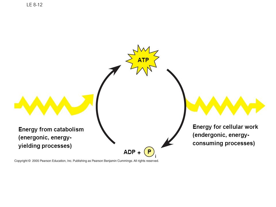 Energy for cellular work (endergonic, energy- consuming processes)