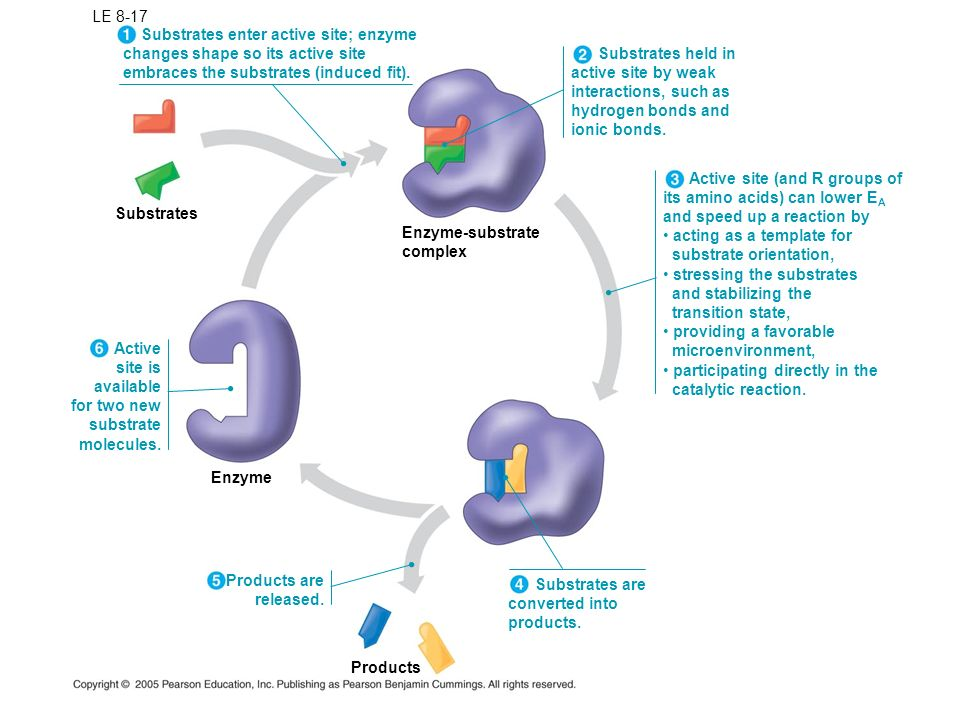 LE 8-17 Substrates enter active site; enzyme. changes shape so its active site. embraces the substrates (induced fit).
