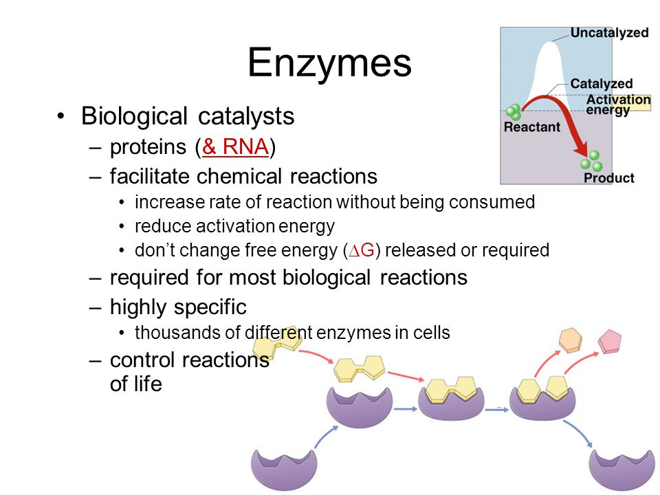 Enzymes Biological catalysts proteins (& RNA)