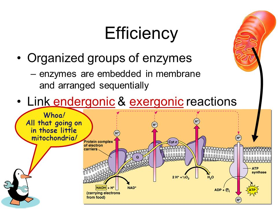 Whoa! All that going on in those little mitochondria!