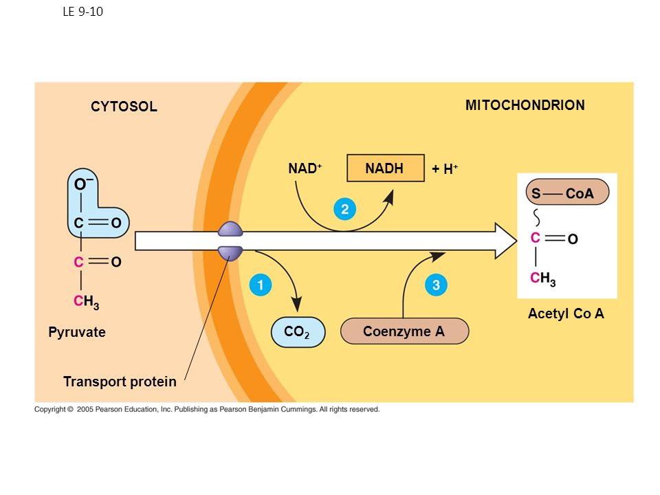LE 9-10 CYTOSOL MITOCHONDRION NAD+ NADH + H+ Acetyl Co A Pyruvate CO2 Coenzyme A Transport protein