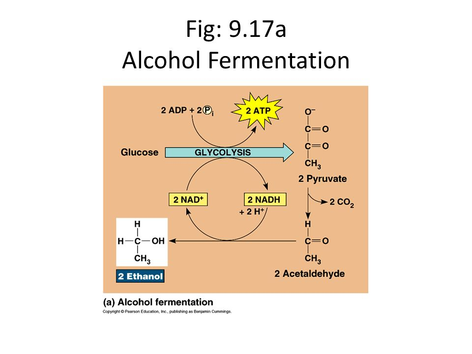 Fig: 9.17a Alcohol Fermentation