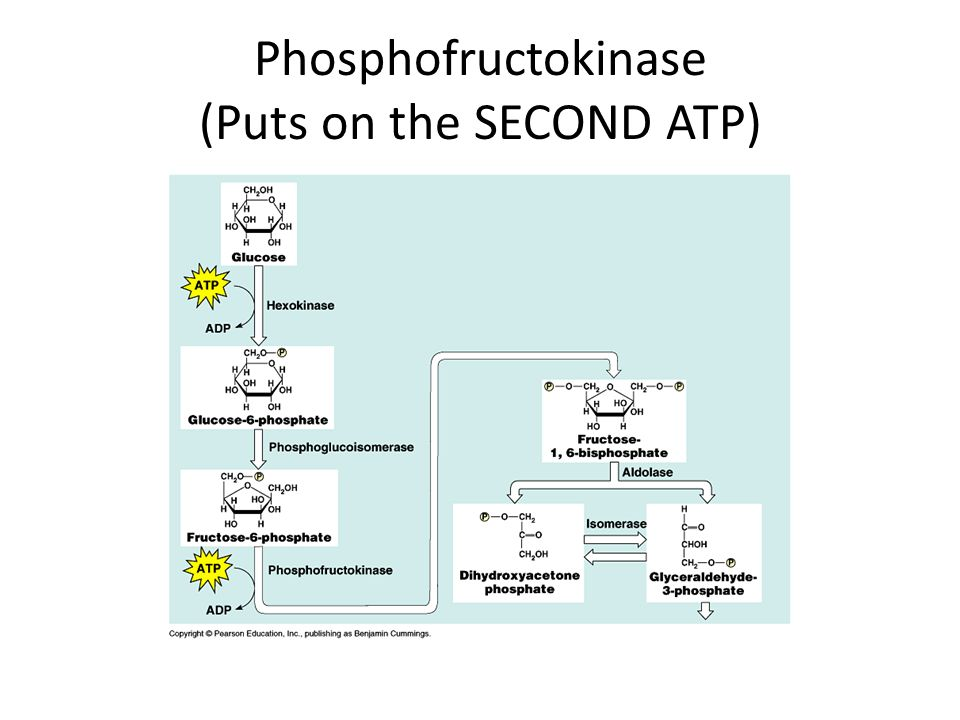 Phosphofructokinase (Puts on the SECOND ATP)