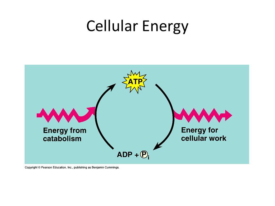 Cellular Energy
