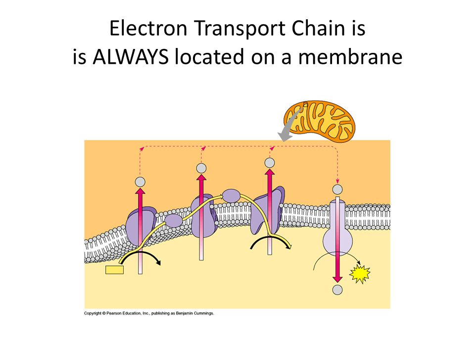 Electron Transport Chain is is ALWAYS located on a membrane