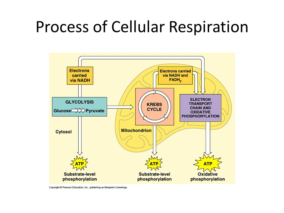 """an analysis of the intricate process of cellular respiration Uncoupled respiration  in a process termed """"browning"""" of wat  isolation, disruption of the intricate mitochondrial network integrity."""