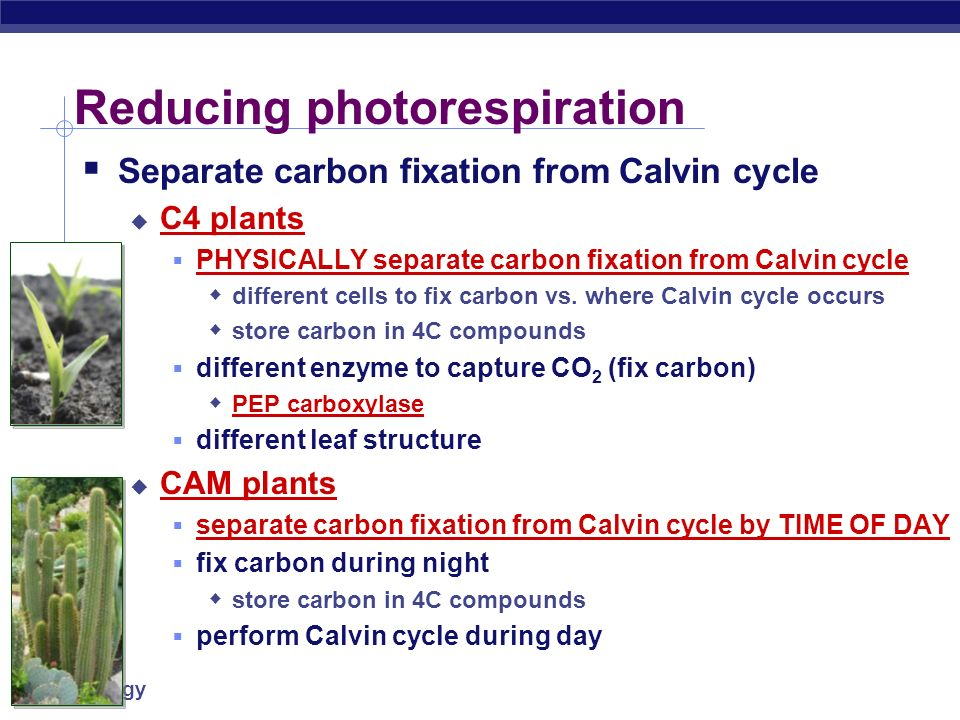 Reducing photorespiration