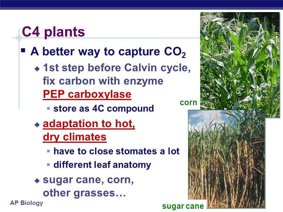 C4 plants A better way to capture CO2