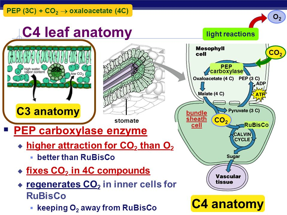 C4 leaf anatomy C4 anatomy C3 anatomy PEP carboxylase enzyme