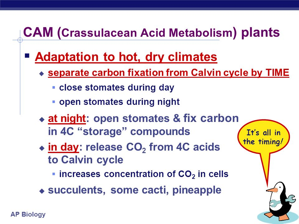 CAM (Crassulacean Acid Metabolism) plants