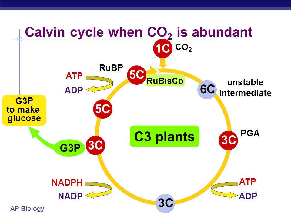 Calvin cycle when CO2 is abundant
