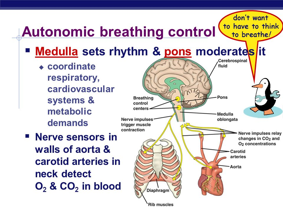 Autonomic breathing control