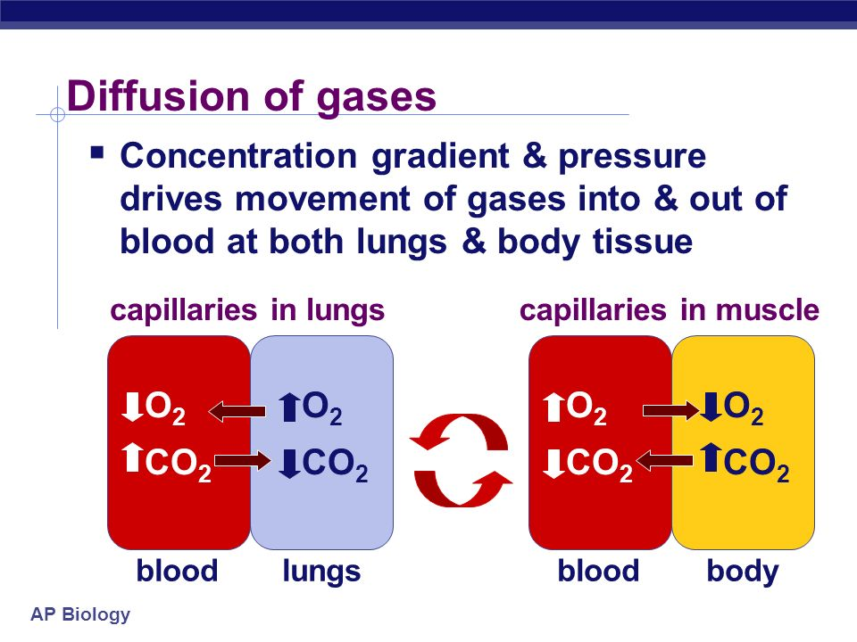 Diffusion of gases Concentration gradient & pressure drives movement of gases into & out of blood at both lungs & body tissue.