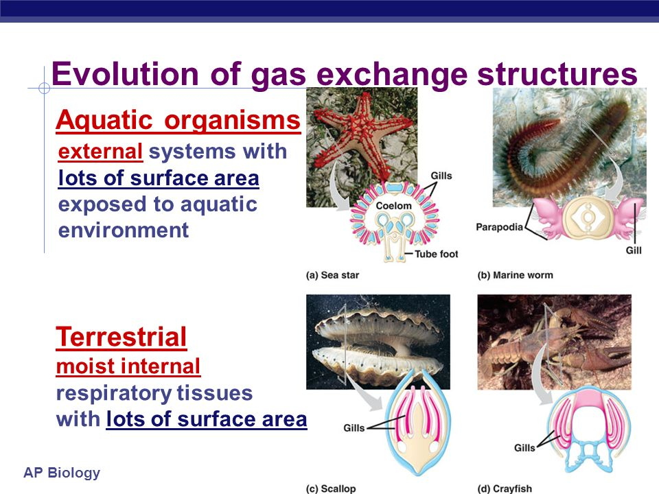 Evolution of gas exchange structures