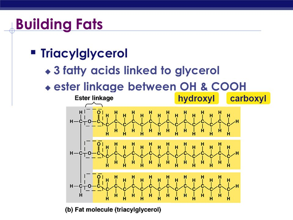 Building Fats Triacylglycerol 3 fatty acids linked to glycerol