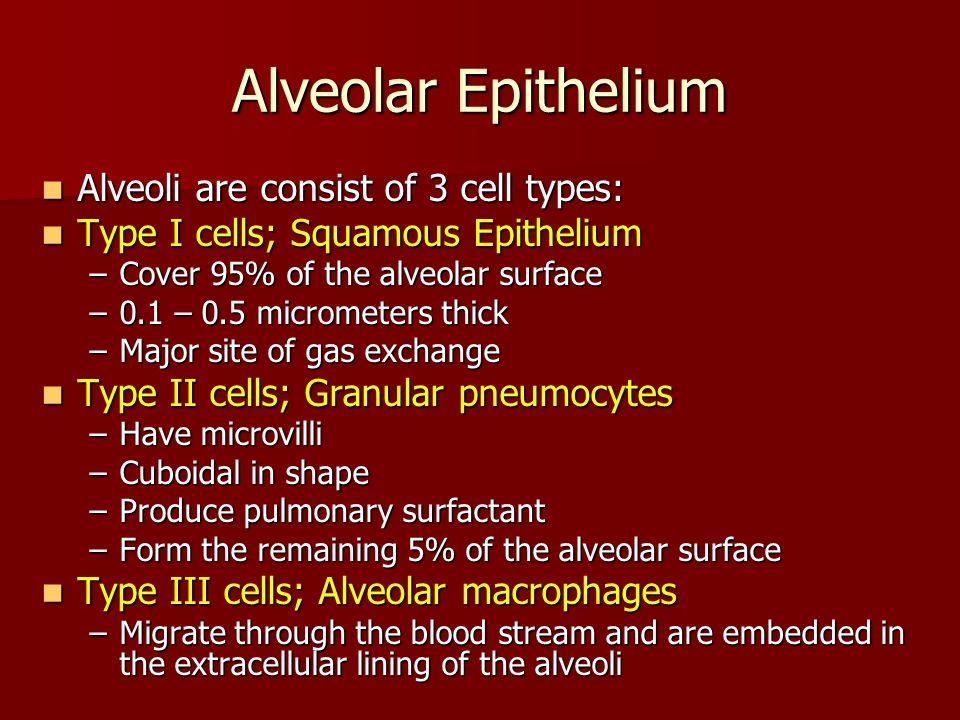 Alveolar Epithelium Alveoli are consist of 3 cell types: