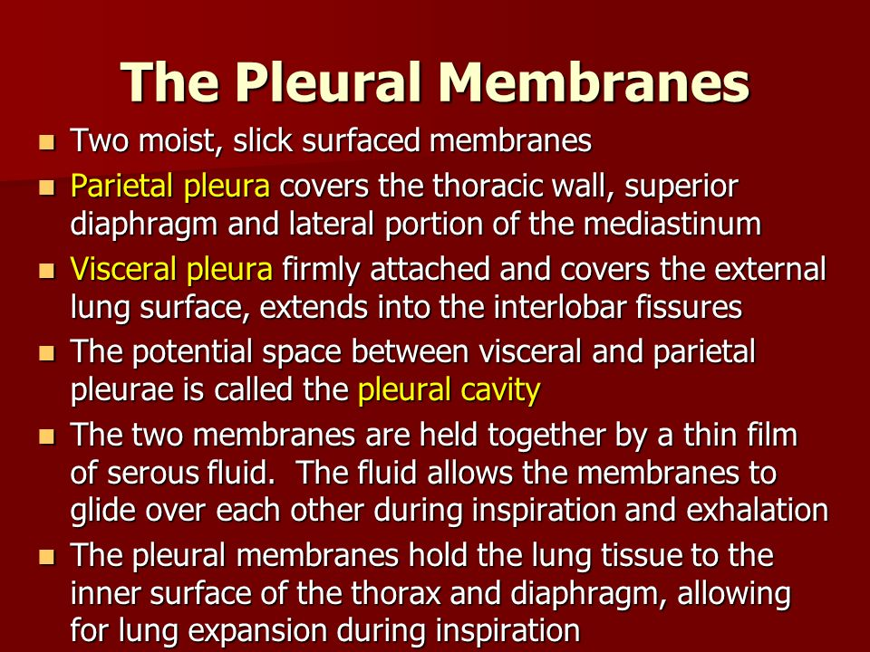 The Pleural Membranes Two moist, slick surfaced membranes