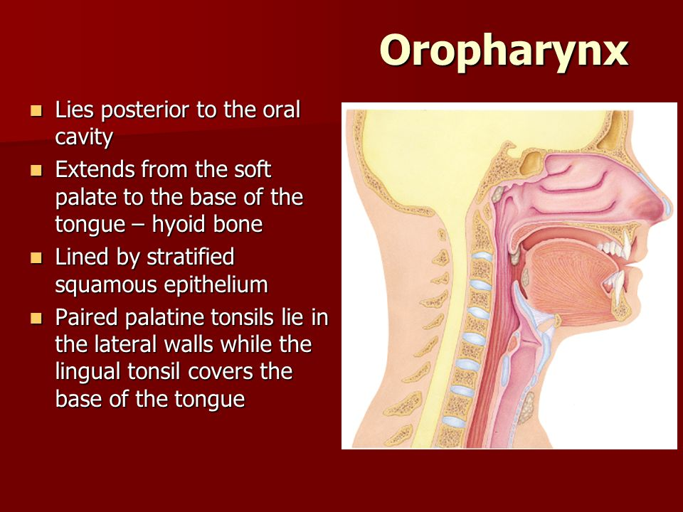 Oropharynx Lies posterior to the oral cavity