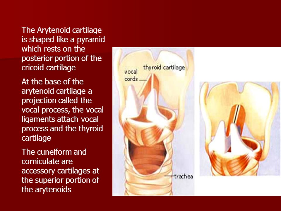The Arytenoid cartilage is shaped like a pyramid which rests on the posterior portion of the cricoid cartilage