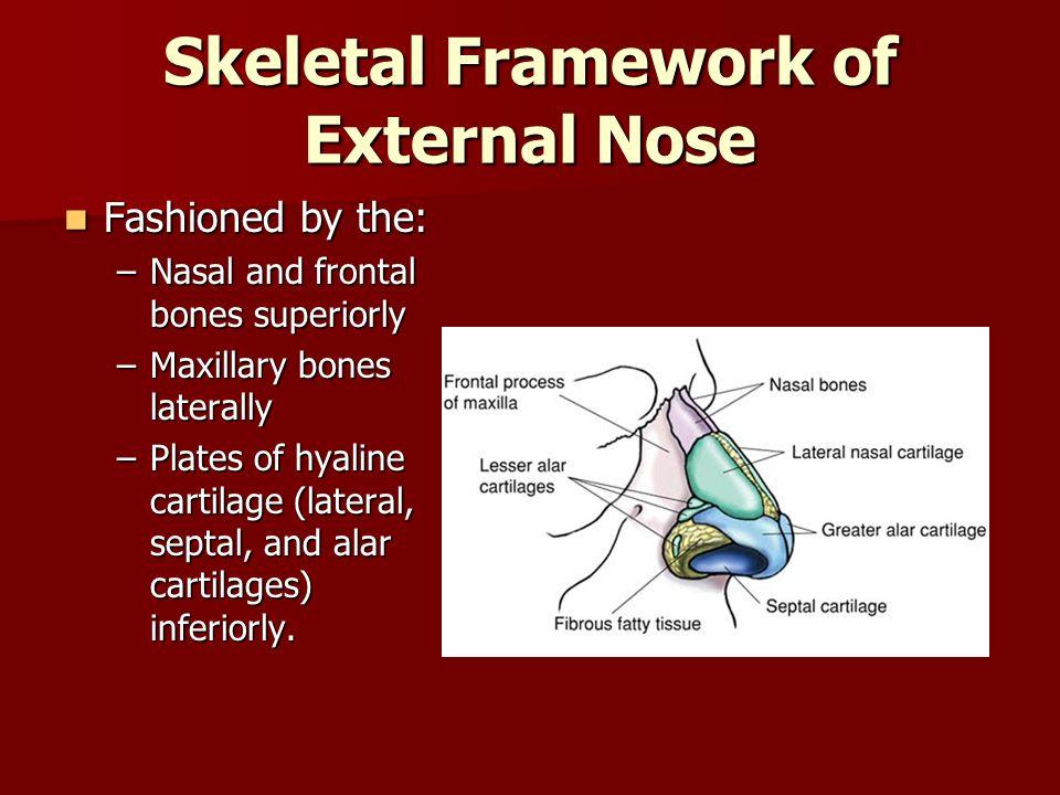 Skeletal Framework of External Nose
