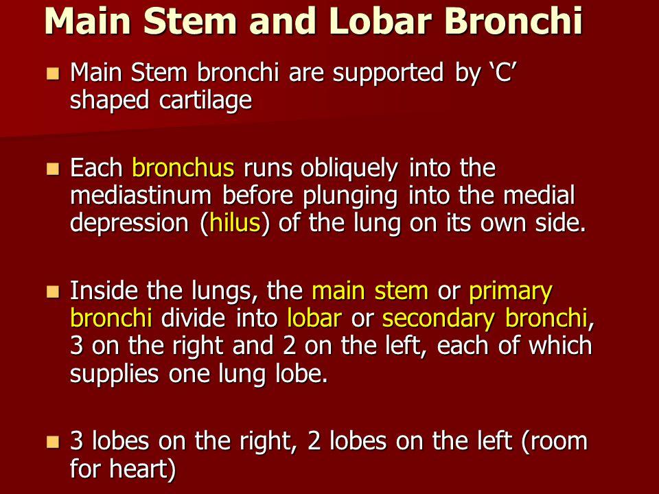 Main Stem and Lobar Bronchi