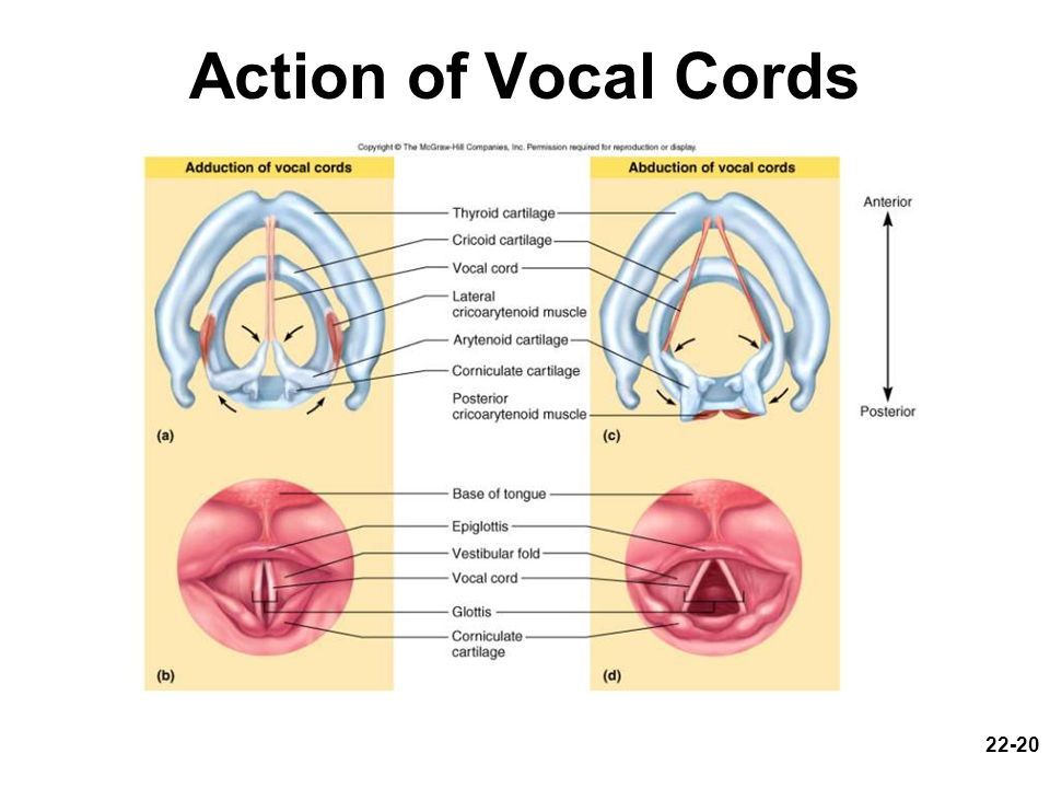 Action of Vocal Cords
