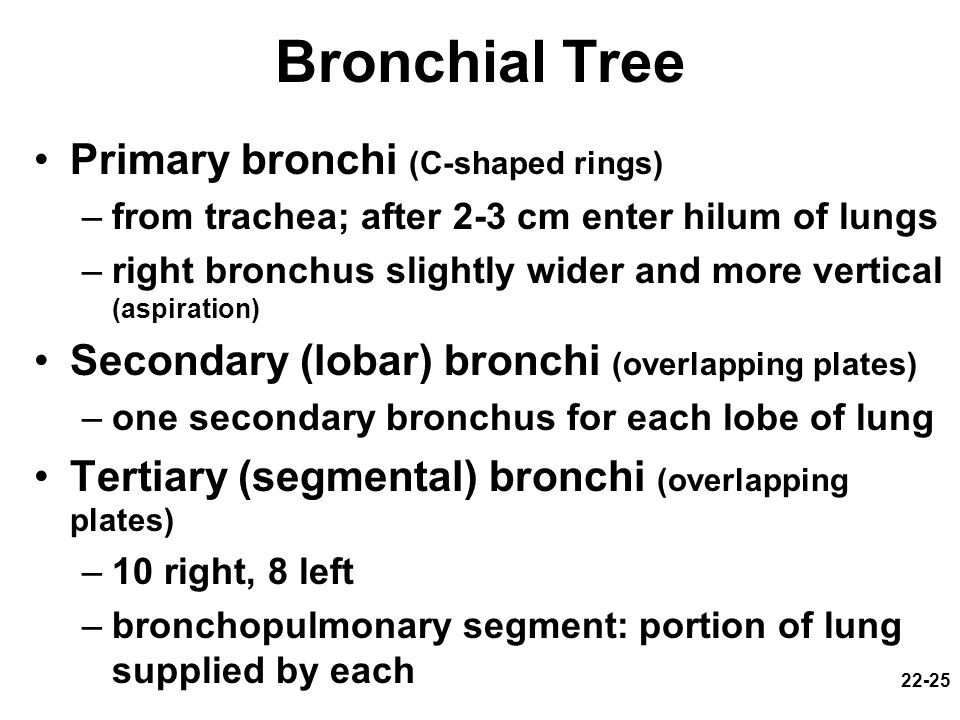 Bronchial Tree Primary bronchi (C-shaped rings)