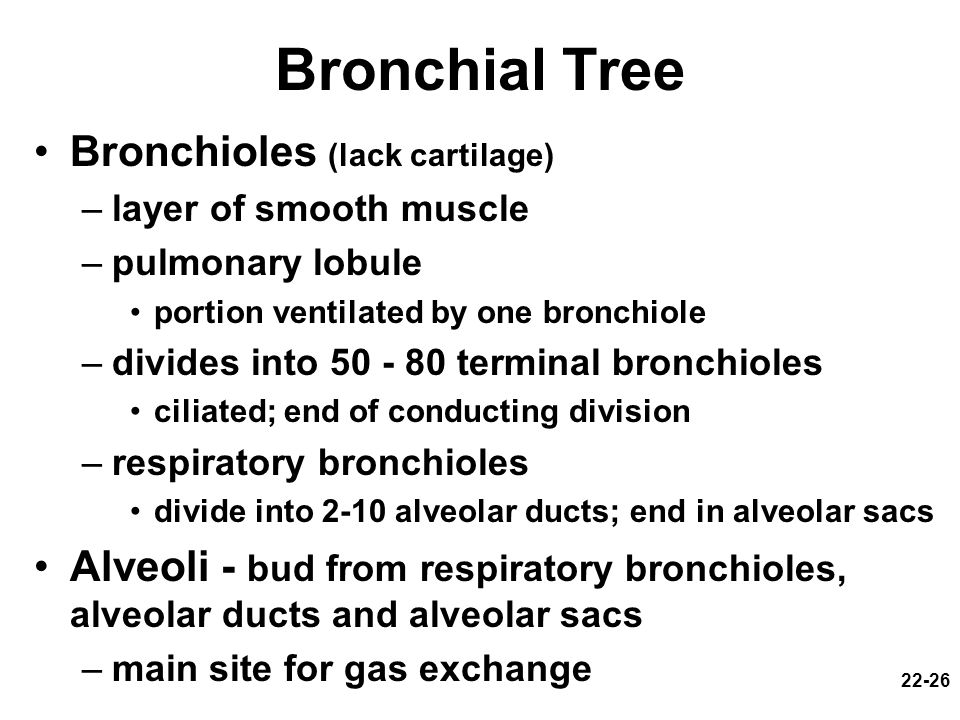 Bronchial Tree Bronchioles (lack cartilage)