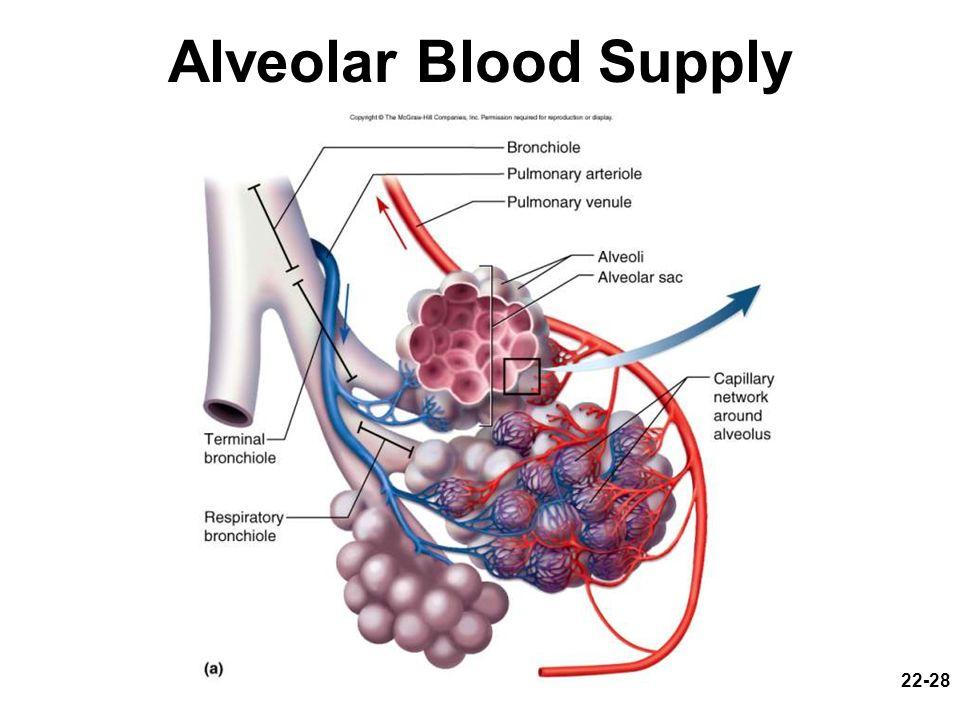 Alveolar Blood Supply