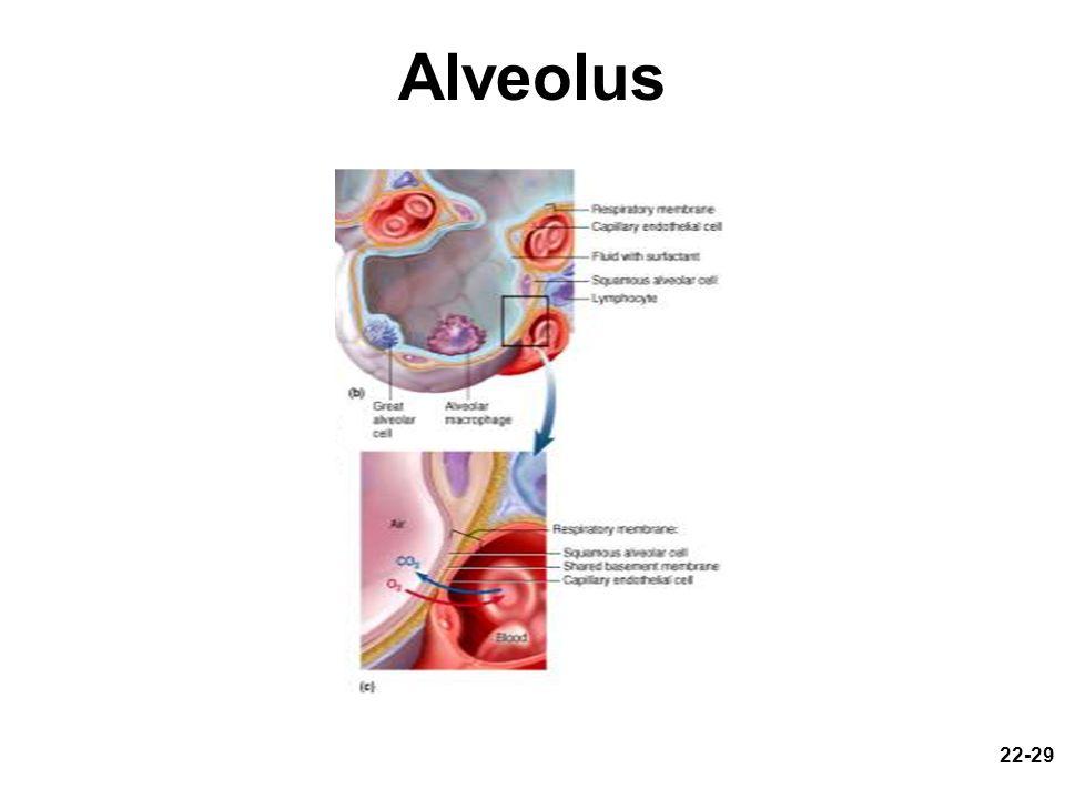 Alveolus Fig. 22.11 b and c