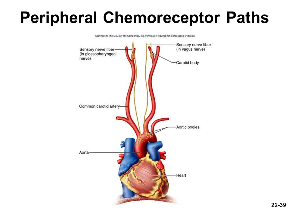 Peripheral Chemoreceptor Paths