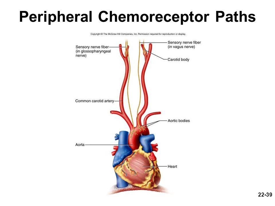 Peripheral Chemoreceptor Paths