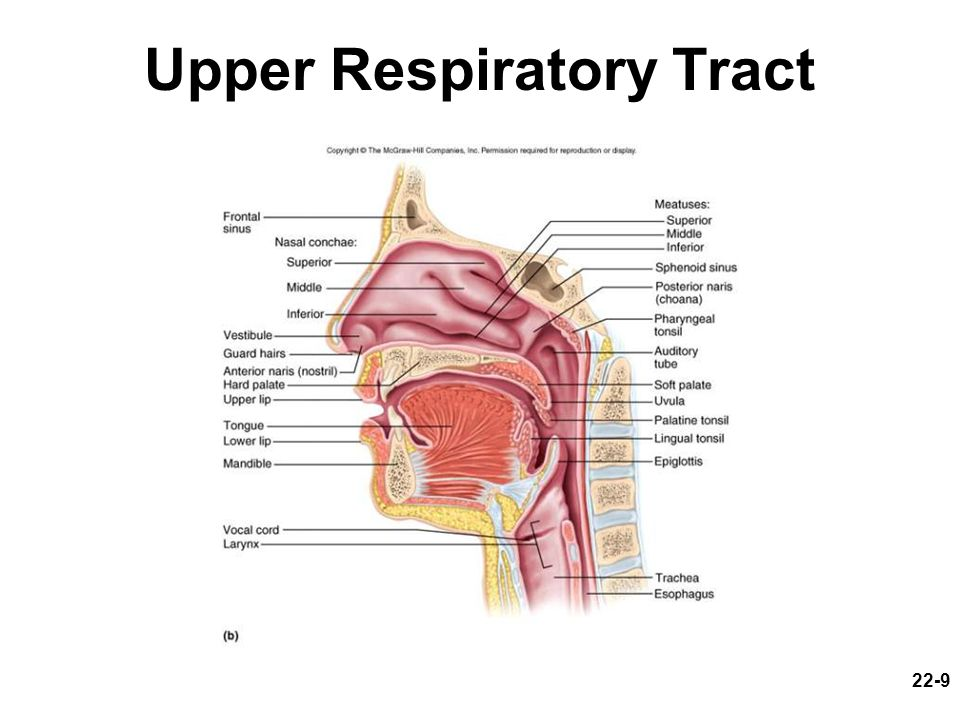 upper respiratory tract images - reverse search, Human body