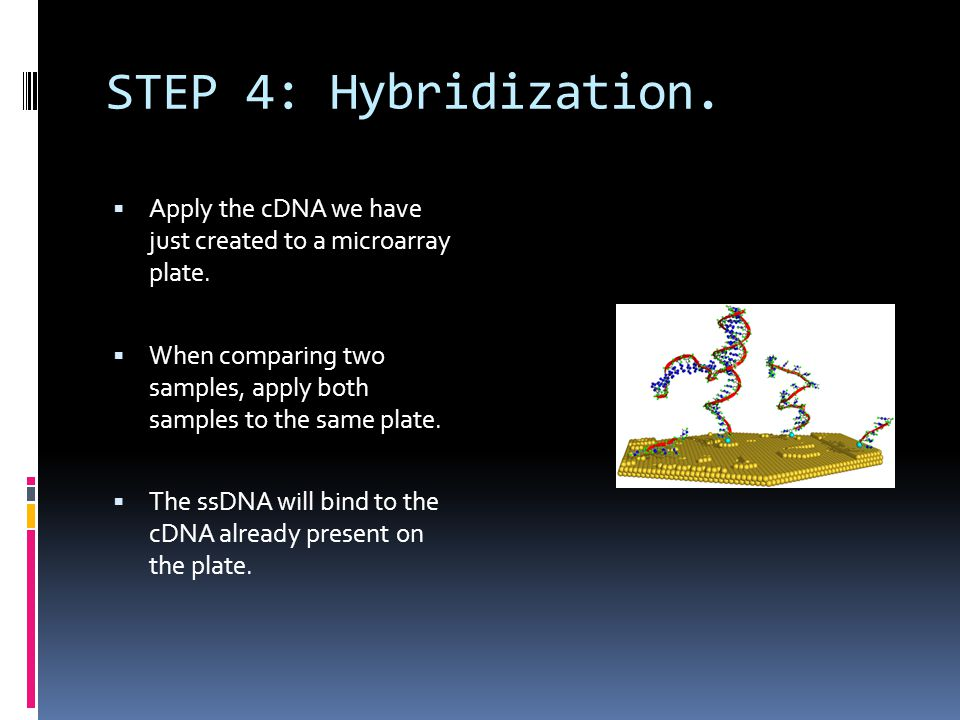STEP 4: Hybridization. Apply the cDNA we have just created to a microarray plate.