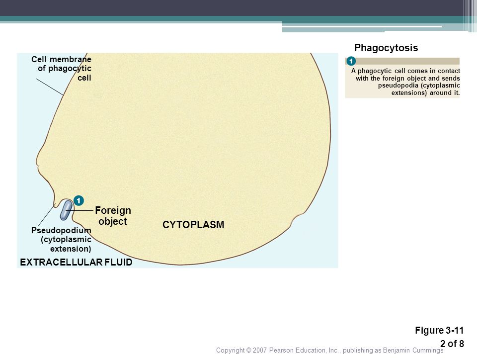 Phagocytosis Foreign object CYTOPLASM EXTRACELLULAR FLUID Figure 3-11