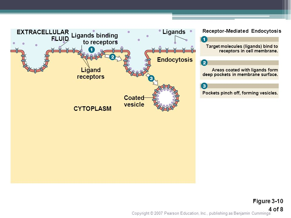 Ligands Ligand receptors CYTOPLASM