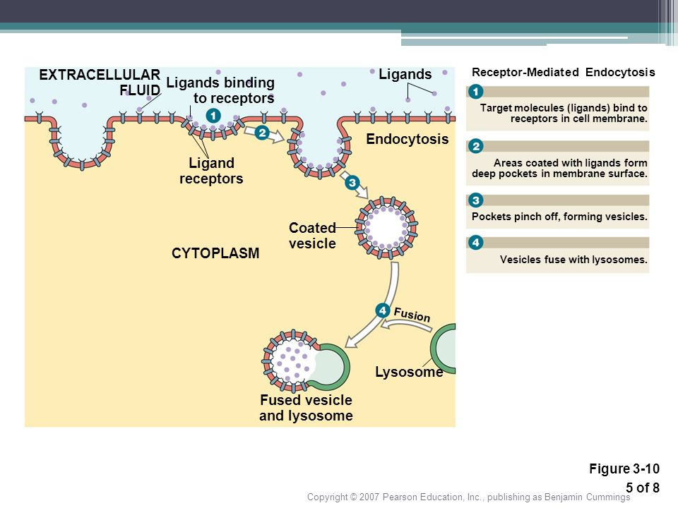 Ligands Ligand receptors CYTOPLASM Fused vesicle and lysosome