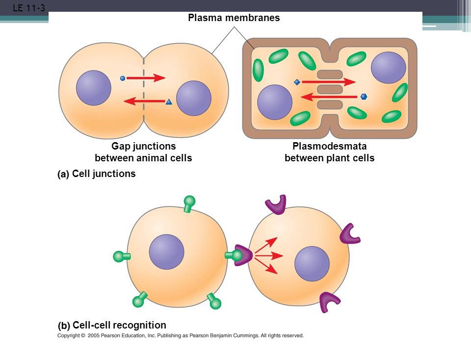 LE 11-3Plasma membranes. Gap junctions. between animal cells. Plasmodesmata. between plant cells. Cell junctions.