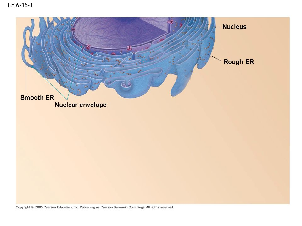 LE 6-16-1 Nucleus Rough ER Smooth ER Nuclear envelope