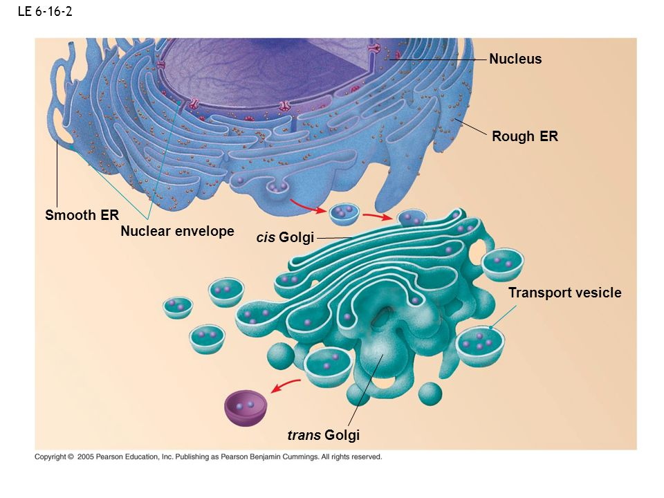 Nucleus Rough ER Smooth ER Nuclear envelope cis Golgi