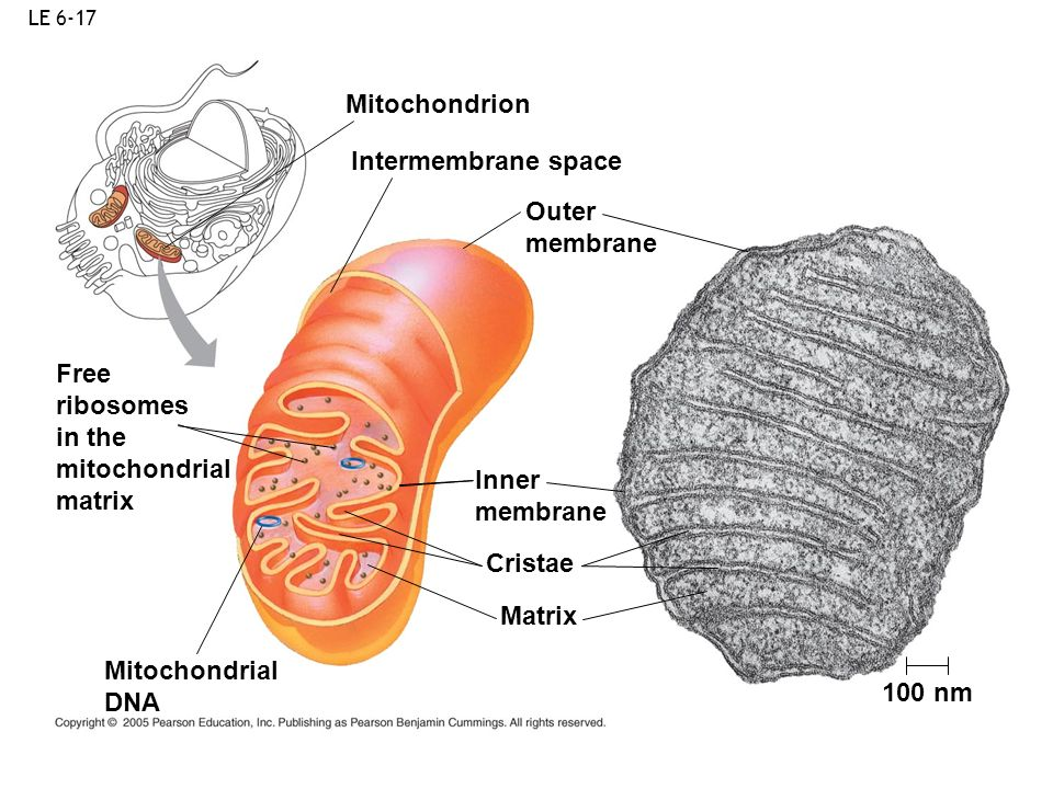 Mitochondrion Intermembrane space Outer membrane Free ribosomes in the