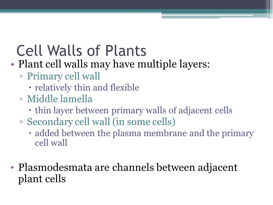 Cell Walls of Plants Plant cell walls may have multiple layers: