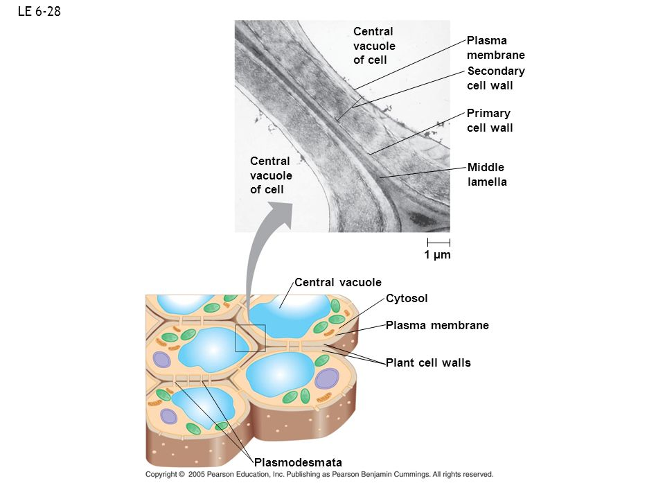 LE 6-28 Central vacuole Plasma of cell membrane Secondary cell wall