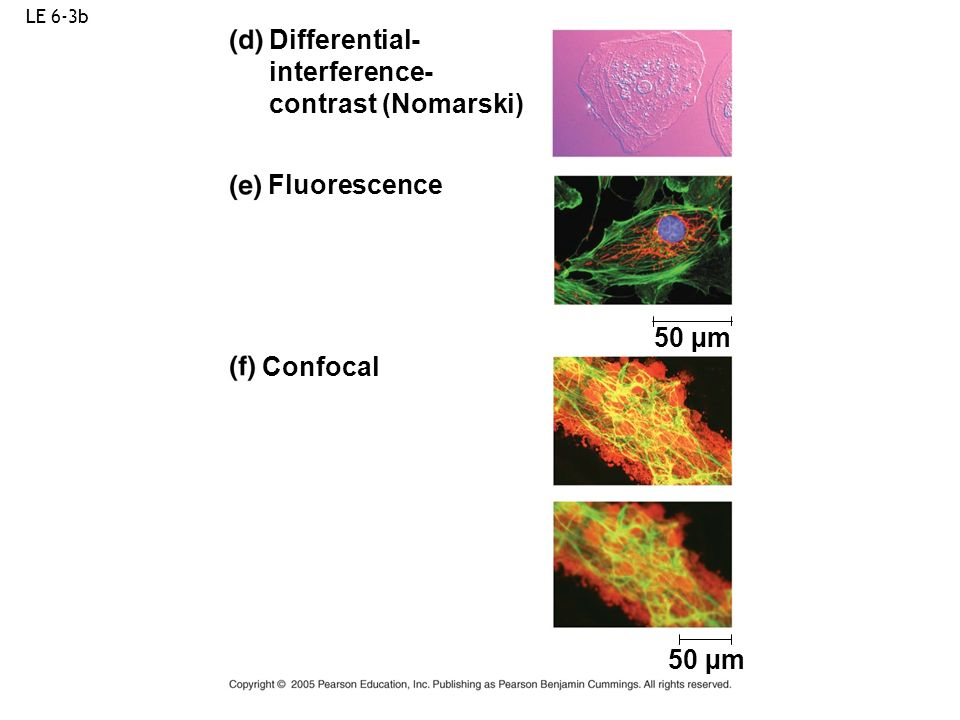 Differential- interference- contrast (Nomarski) Fluorescence 50 µm
