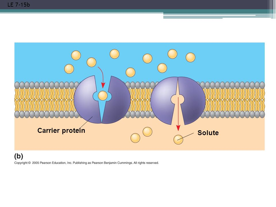 LE 7-15b Carrier protein Solute
