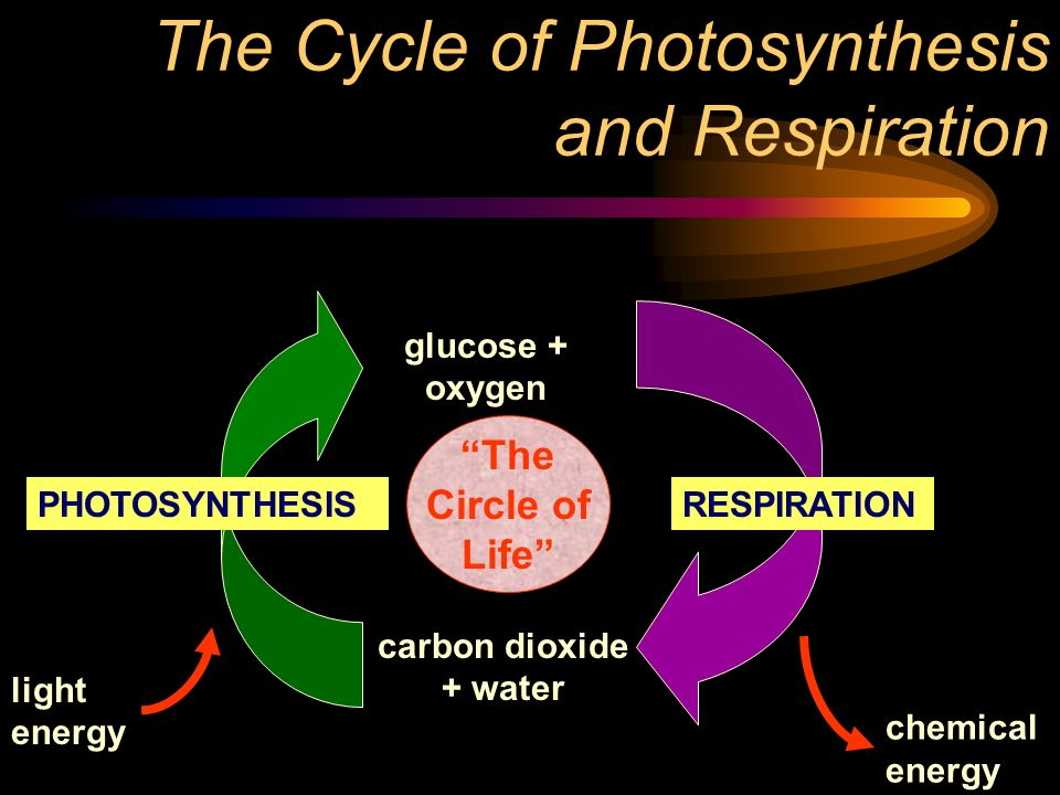 The Cycle of Photosynthesis and Respiration