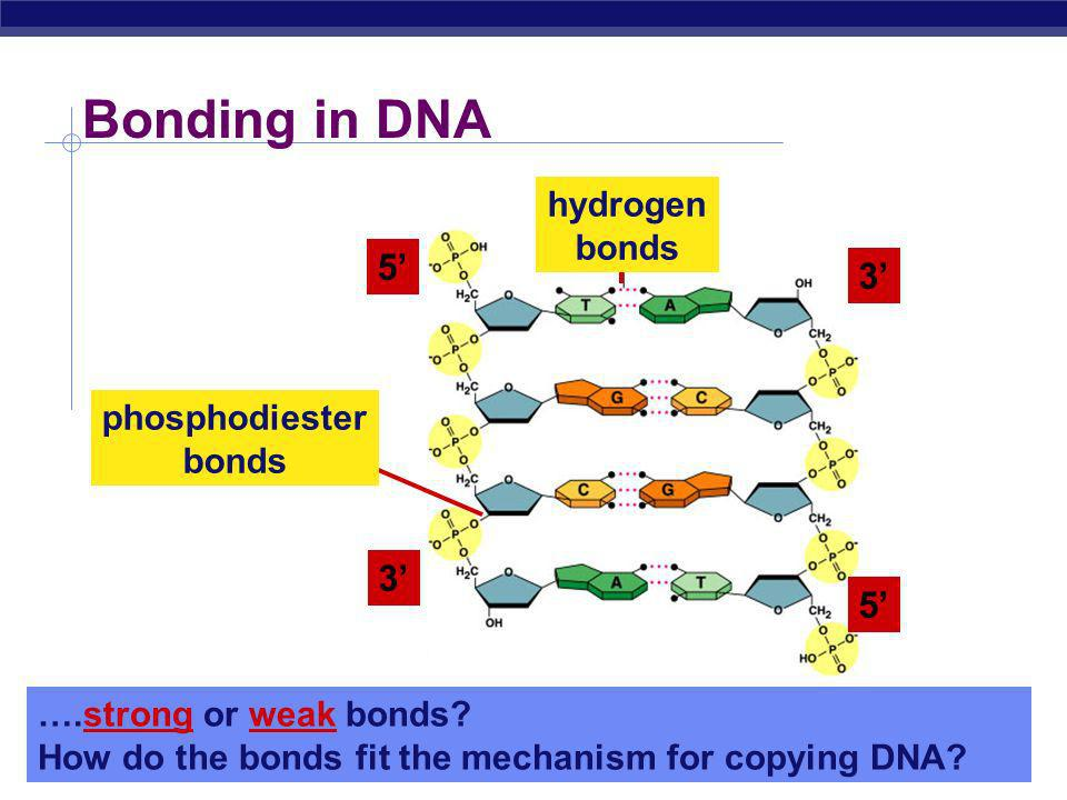 Bonding in DNA 5' 3' 3' 5' hydrogen bonds phosphodiester bonds
