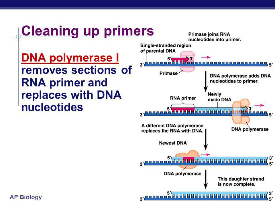 Cleaning up primers DNA polymerase I removes sections of RNA primer and replaces with DNA nucleotides.