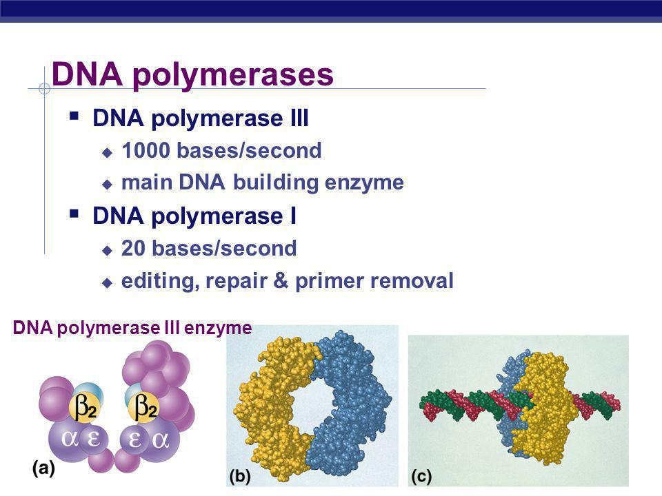 DNA polymerases DNA polymerase III DNA polymerase I 1000 bases/second